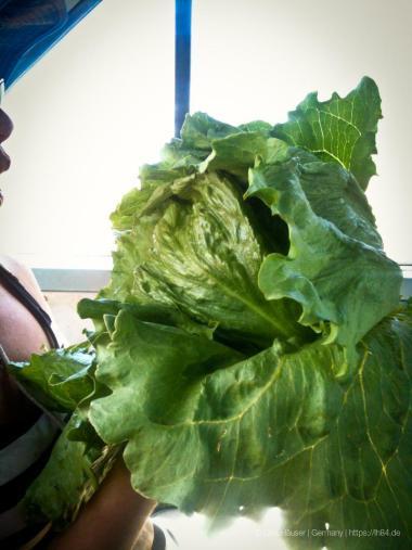 frischer Salat vom Feld