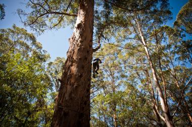 Big Tree   more than 60 meters high