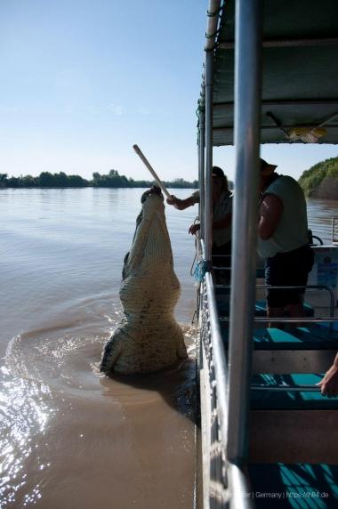 Riesenkrokodil im Adelade River