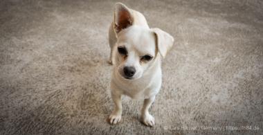 Little Snowy - Einer der drei Hunde unseres Couchsurfers